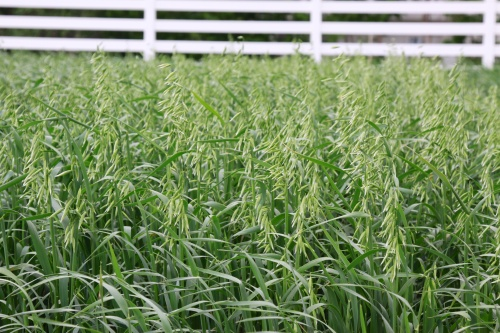 Spring oat can provide an alternate hay or forage source in the spring