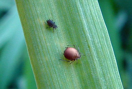 Parasitized bird cherry oat aphid