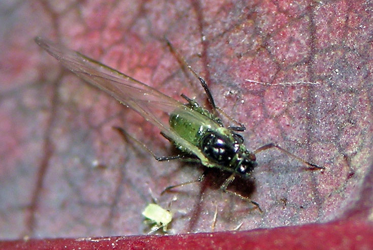 Winged bird cherry oat aphid