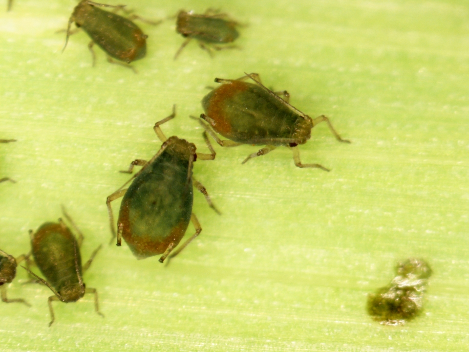 Bird cherry oat aphid