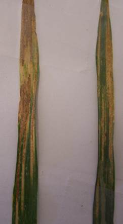 Survival spore stage of stripe rust