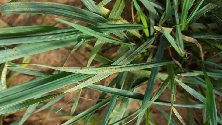 leaf-rust-1