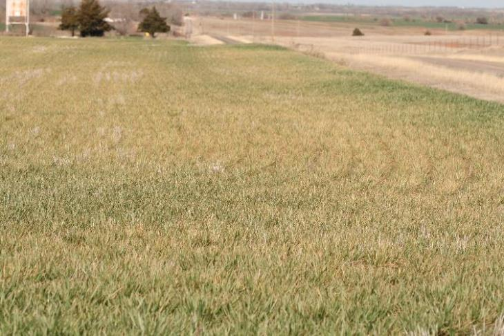 field infested with winter grain mite