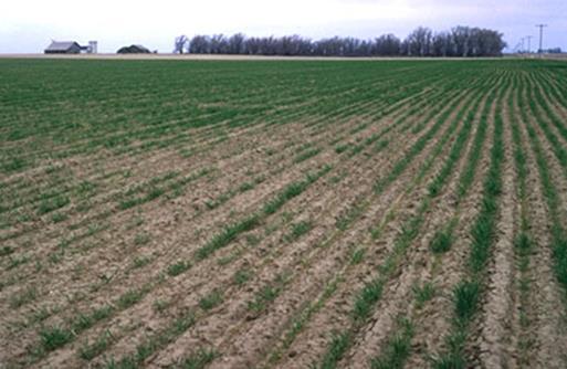 fig 1 - wheat field