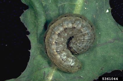 fig 2 - cutworm on canola