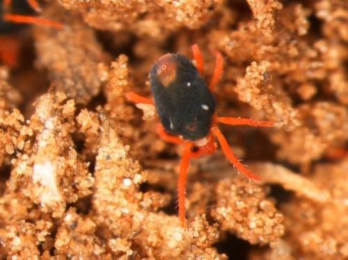 winter grain mite