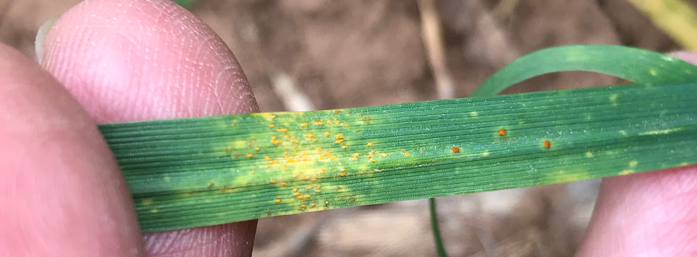 stripe and leaf rust